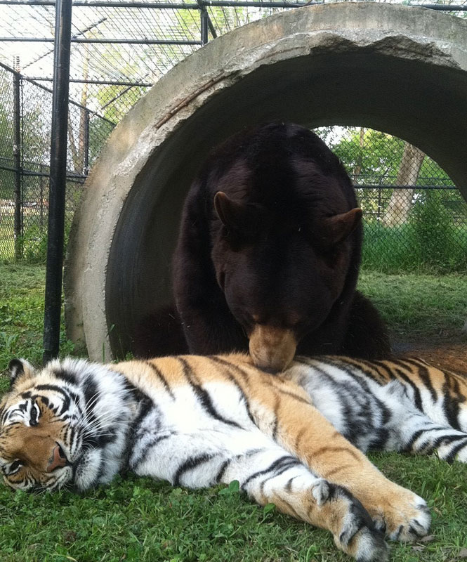 rescate arca blt león del oso del tigre de Noé (12)