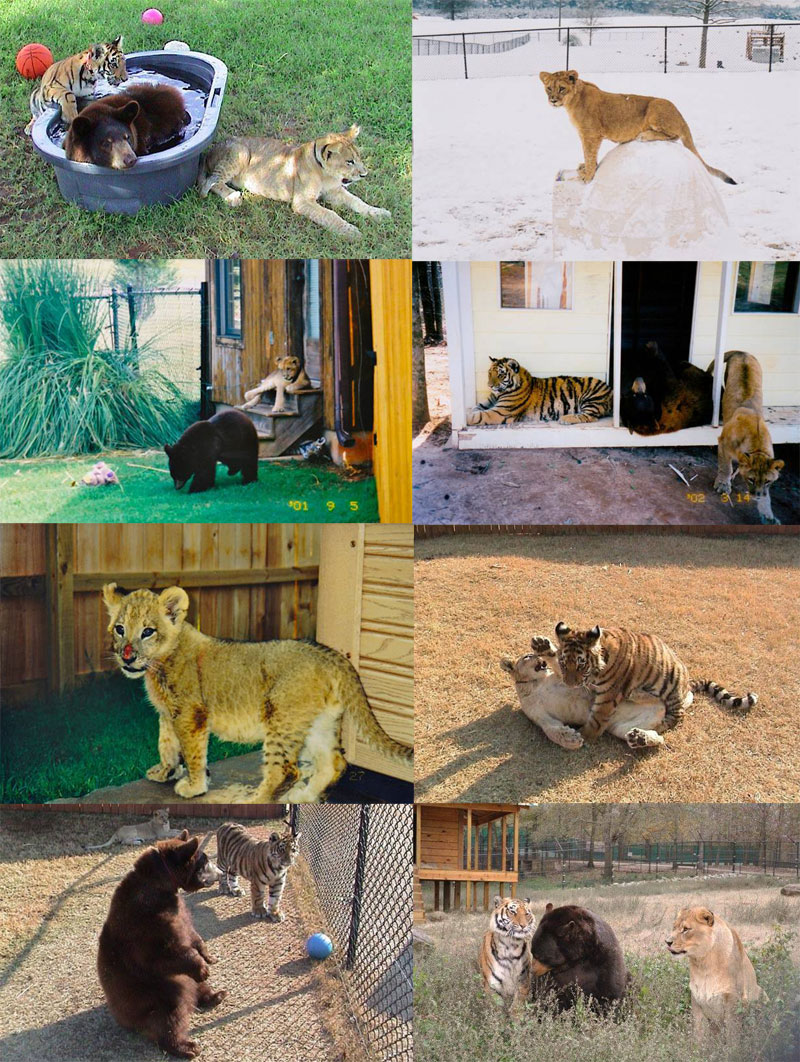 the story of leo baloo and shere khan the inseparable bond