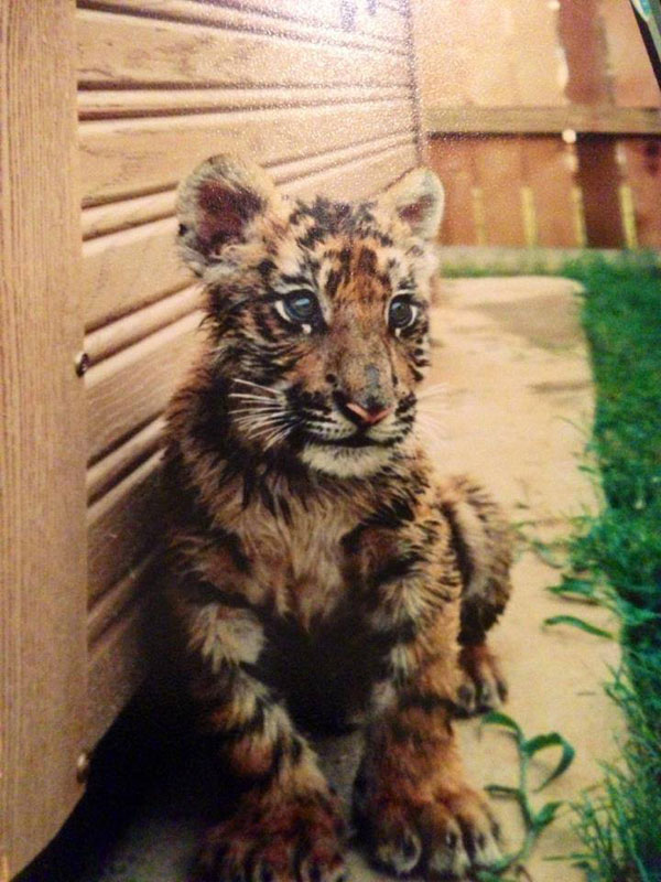 rescate arca blt león del oso del tigre de Noé (2)