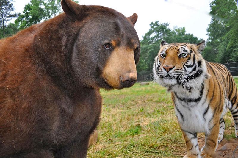rescate arca blt león del oso del tigre de Noé (3)