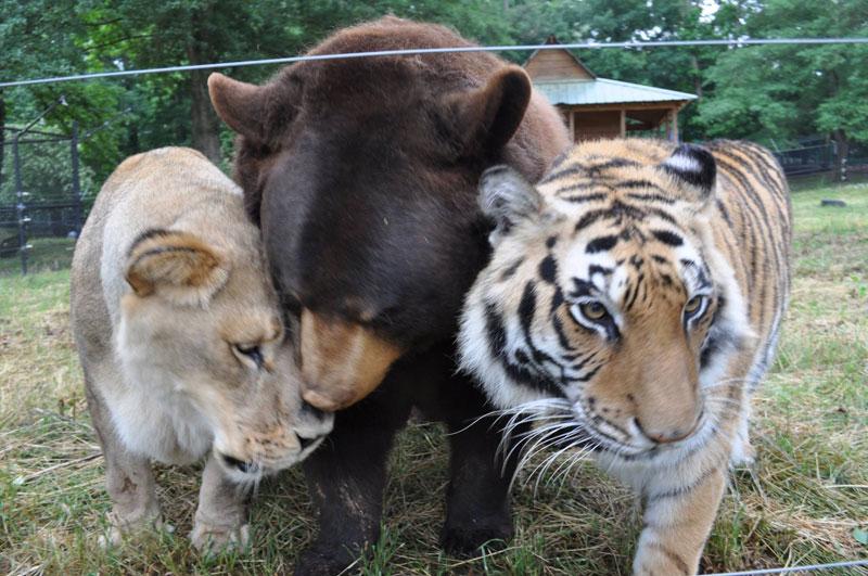 rescate arca blt león del oso del tigre de Noé (6)