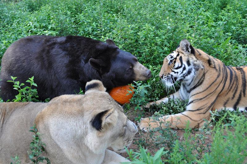 rescate arca blt león del oso del tigre de Noé (9)