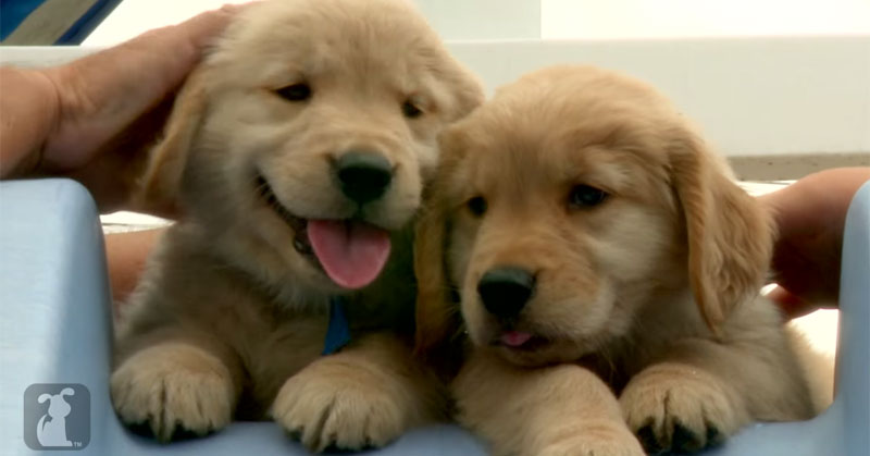 This Video Contains Golden Retriever Puppies. Lots ofThem