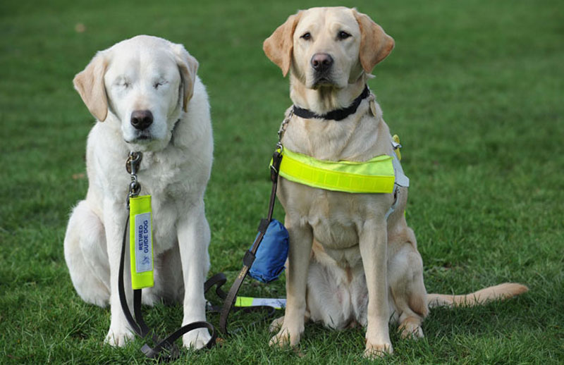 guide dog loses sight so owner gets a new guide dog for both of them (1)