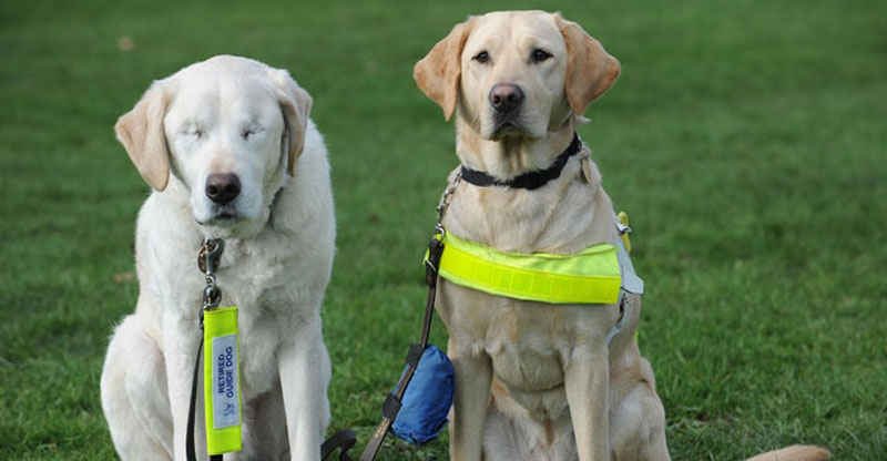 After This Guide Dog Lost His Sight, His Owner Did Something Remarkable