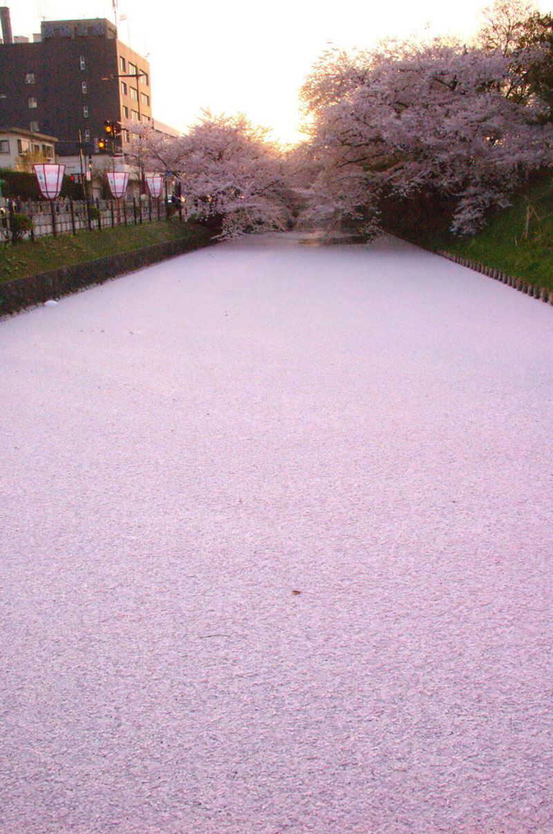 sea of cherry blossom petals japan Picture of the Day: Sea of Cherry Blossom Petals