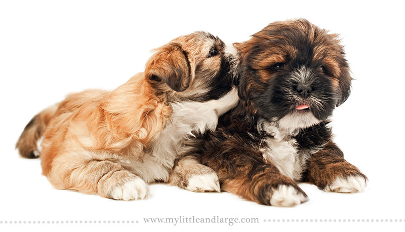 What 17 Different Breeds of Dogs Look Like at 6 Weeks Old by j.nichole smith little and large (1)