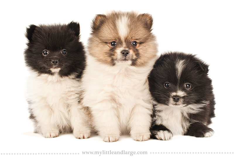 What 17 Different Breeds of Dogs Look Like at 6 Weeks Old by j.nichole smith little and large (11)