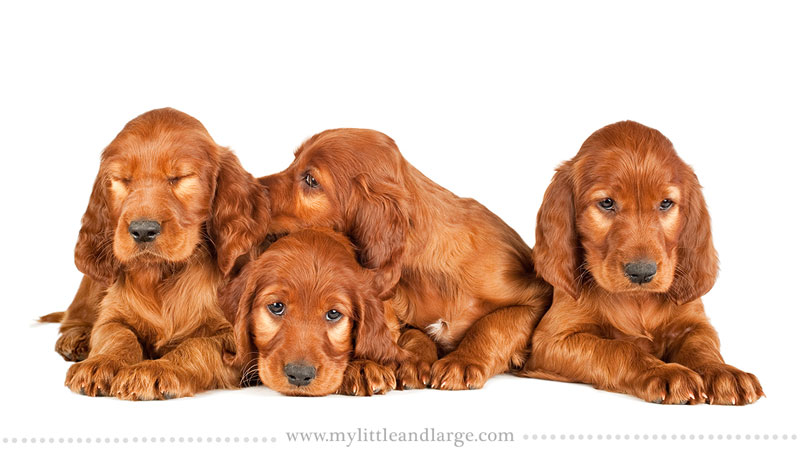 What 17 Different Breeds of Dogs Look Like at 6 Weeks Old by j.nichole smith little and large (14)