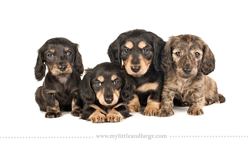 What 17 Different Breeds of Dogs Look Like at 6 Weeks Old by j.nichole smith little and large (15)