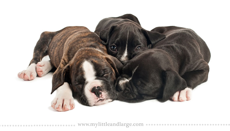 What 17 Different Breeds of Dogs Look Like at 6 Weeks Old by j.nichole smith little and large (2)