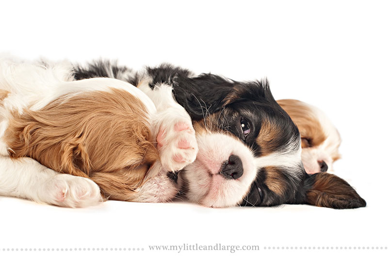 What 17 Different Breeds of Dogs Look Like at 6 Weeks Old by j.nichole smith little and large (5)