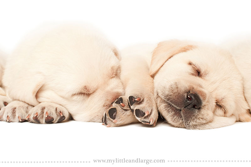 What 17 Different Breeds of Dogs Look Like at 6 Weeks Old by j.nichole smith little and large (6)