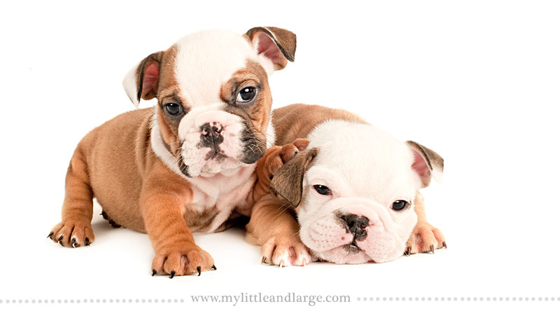 What 17 Different Breeds of Dogs Look Like at 6 Weeks Old by j.nichole smith little and large (8)
