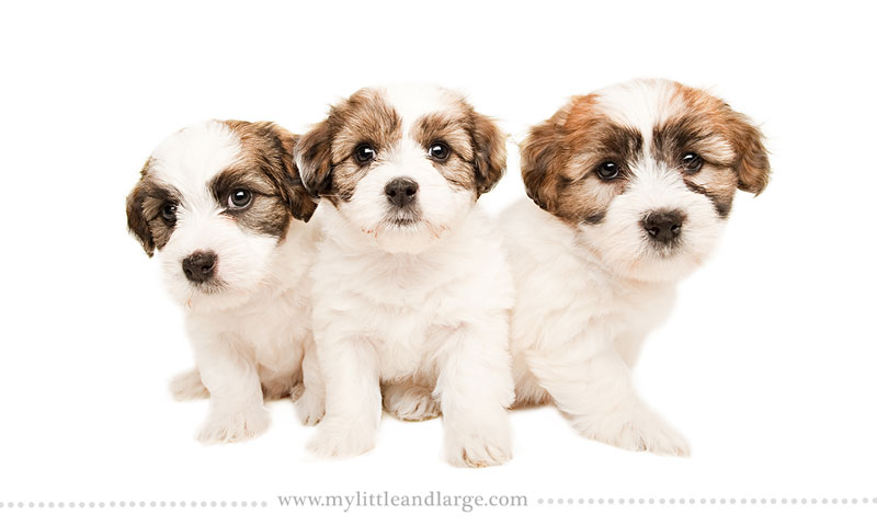 What 17 Different Breeds of Dogs Look Like at 6 Weeks Old by j.nichole smith little and large (9)
