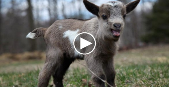 baby-goat-stampede-running-of-the-goats-video