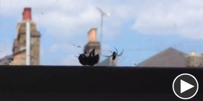Bee Trapped in Spider's Web Gets Rescued by Another Bee