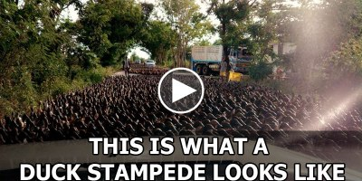 This is What a Duck Stampede Looks Like