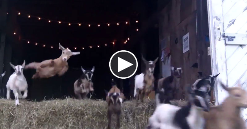 44 Running Baby Goats Now With 100% MoreJumping