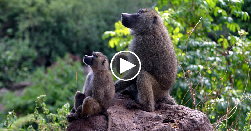 How To Fool Baboons Into Revealing their Secret WaterSupply