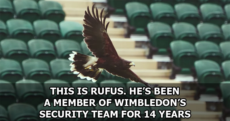 This is Rufus. He's Been a Member of Wimbledon's Security Team for 14Years