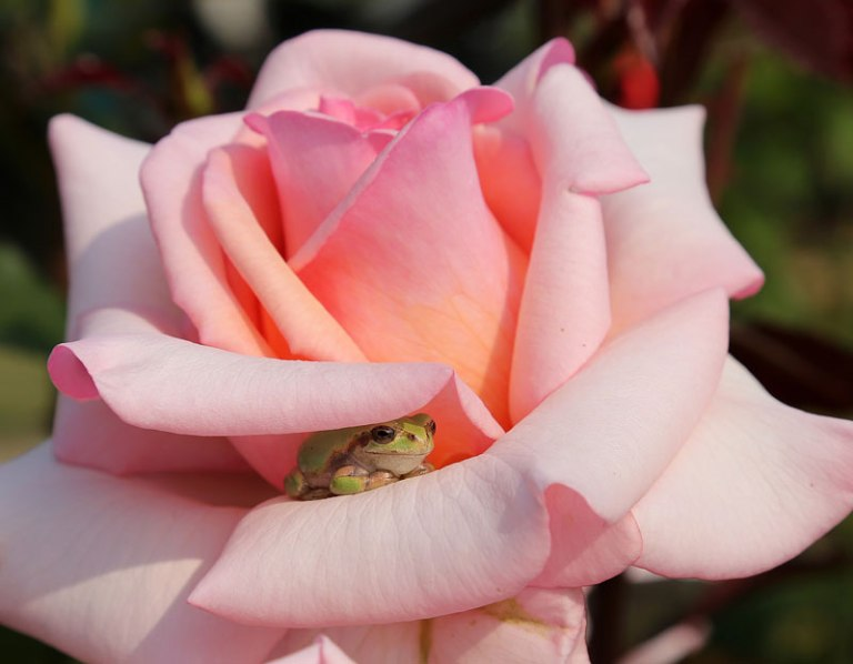 tiny-frog-hiding-in-a-rose