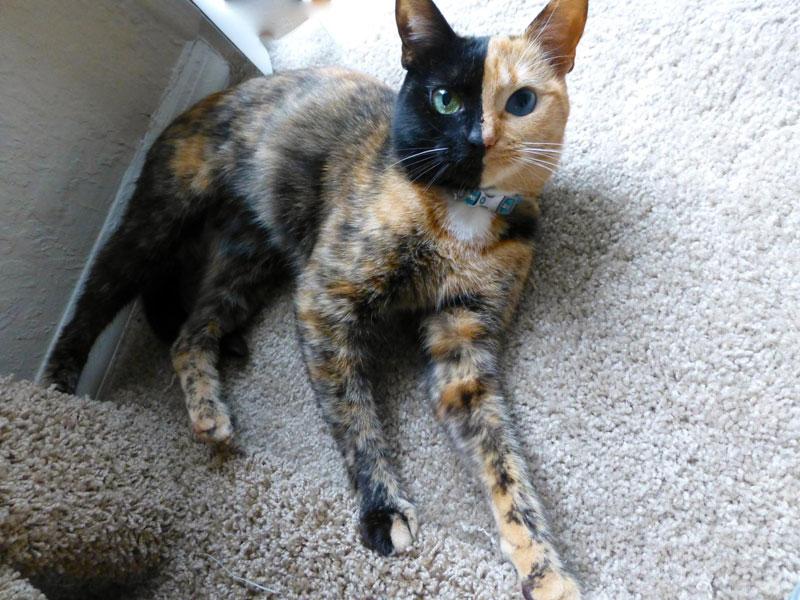 venus chimera cat two face half black half tabby (1)