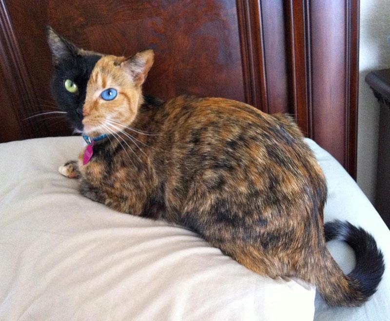 venus chimera cat two face half black half tabby (3)