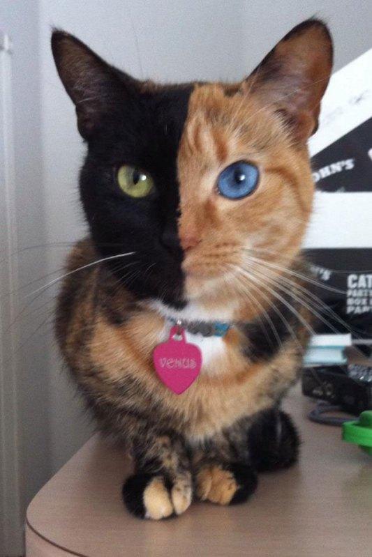venus chimera cat two face half black half tabby (4)