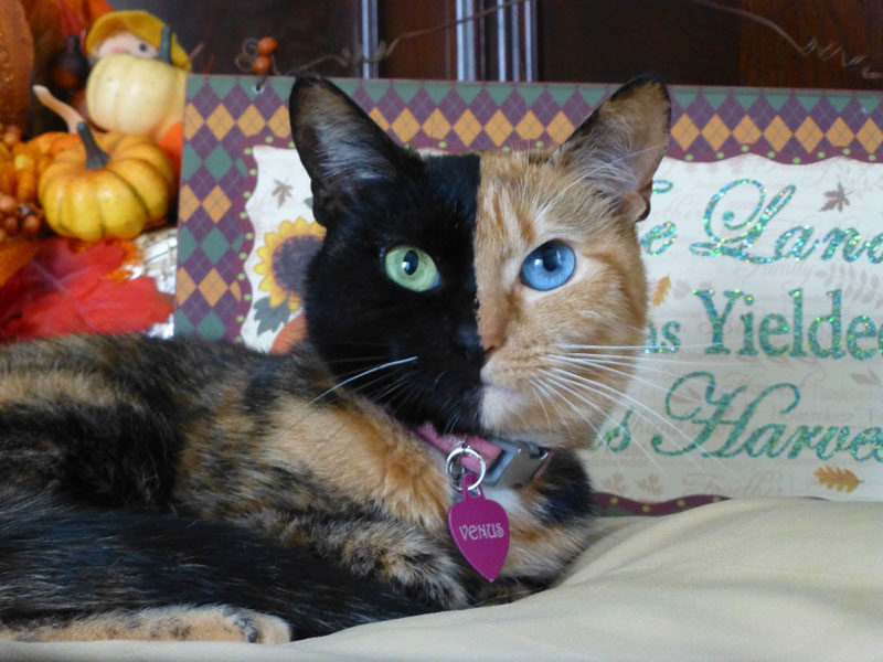 venus chimera cat two face half black half tabby