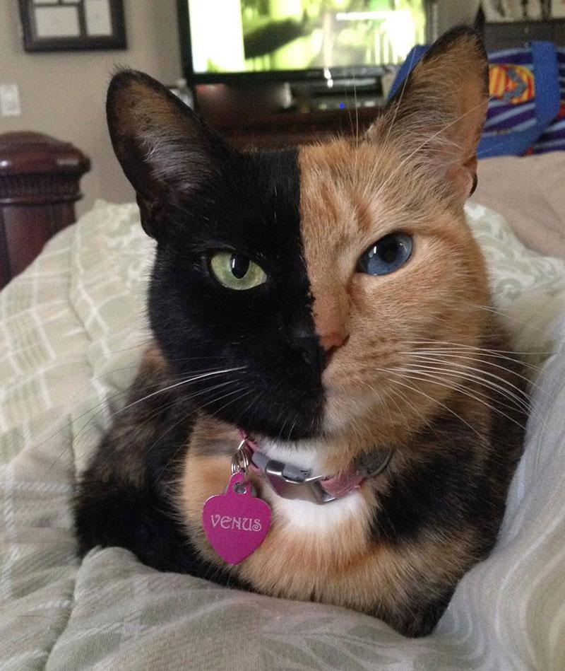 venus chimera cat two face half black half tabby (7)