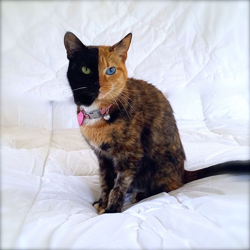venus chimera cat two face half black half tabby (8)