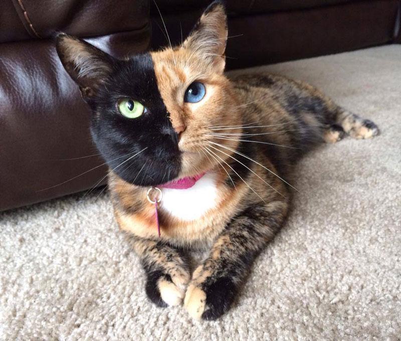 venus chimera cat two face half black half tabby (9)