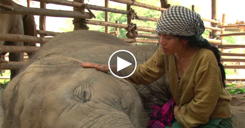 Rescued Elephant Falls Asleep to the Soothing Sounds of aLullaby
