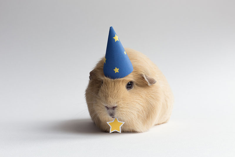 This Might Be The World S Cutest Guinea Pig 171 Twistedsifter