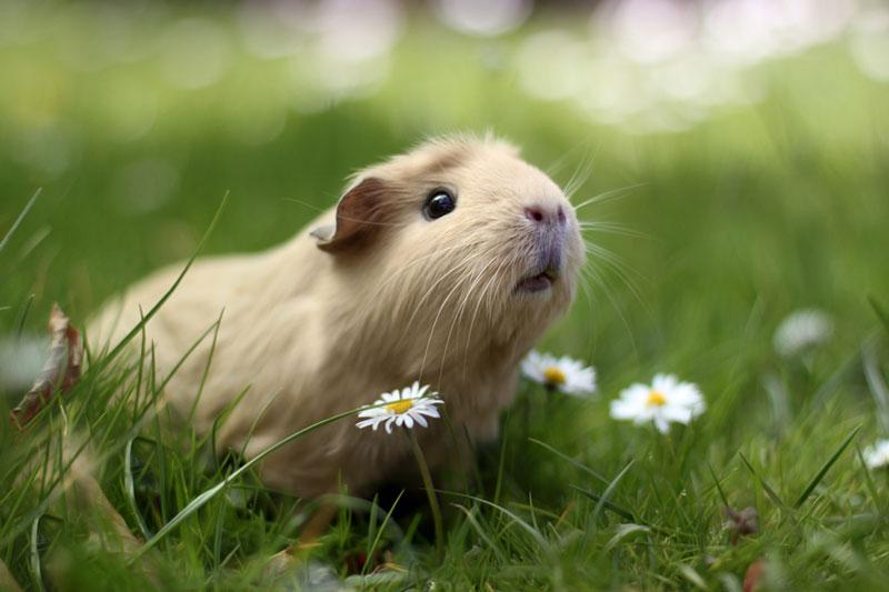 worlds cutest guinea pig booboo (3)