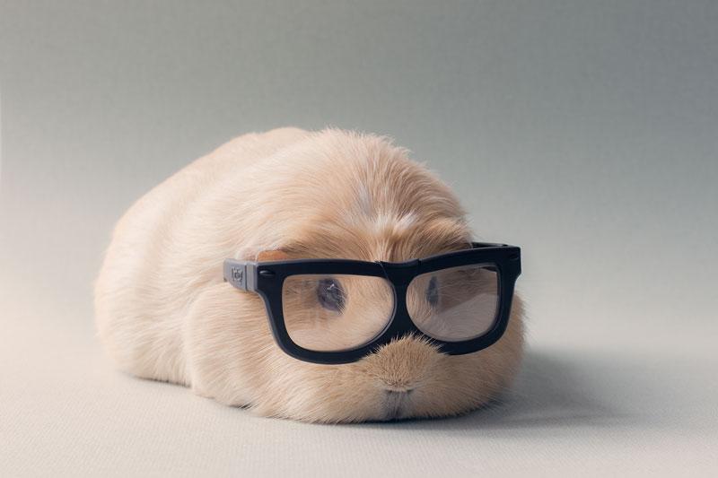 worlds cutest guinea pig booboo (4)