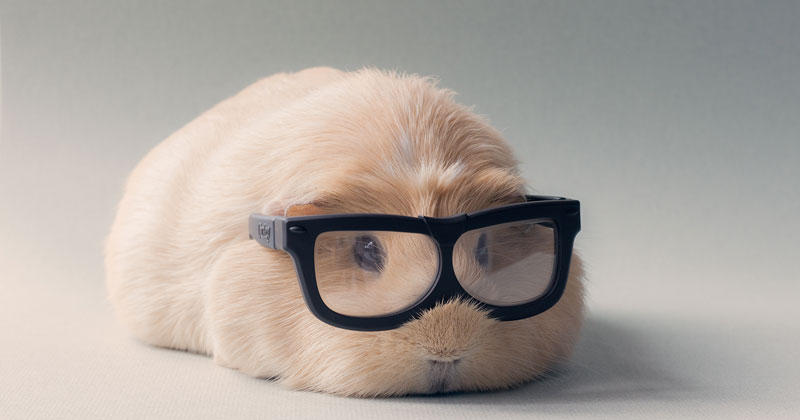 This Might Be the World's Cutest Guinea Pig