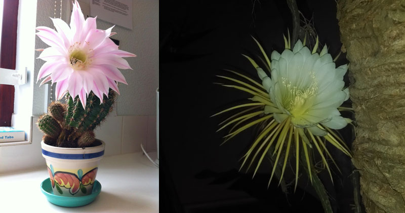 Once a Year These Cacti Will Flower for 24Hours
