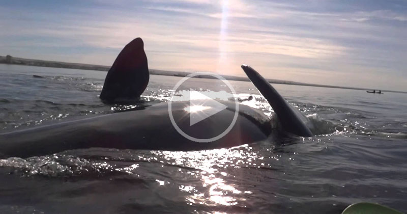Kayak Gets Lifted Out of Water by HugeWhale