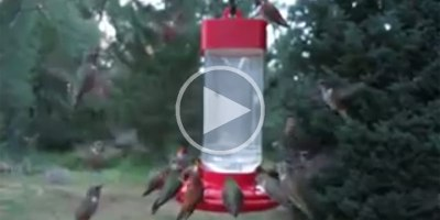 This is What a Flock of Hummingbirds Looks Like