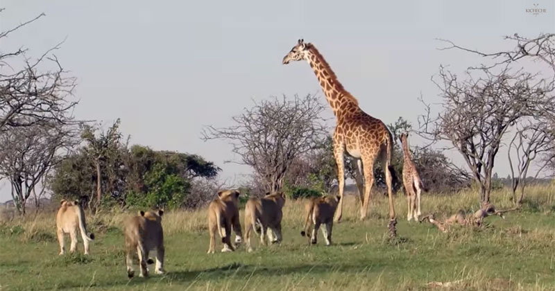 mother-giraffe-defends-her-calf-from-pride-of-lions