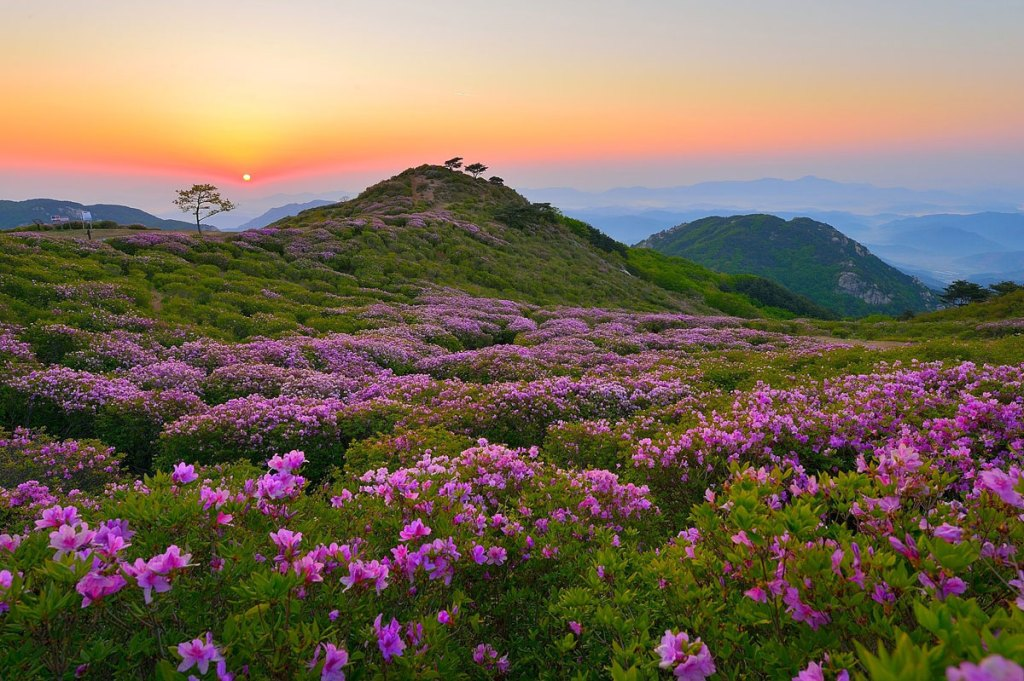 Picture of the Day: Royal Azaleas on Mt.Hwangmaesan