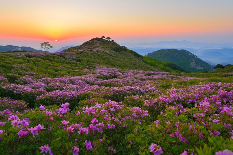 royal azaleas Mt. Hwangmaesan south korea