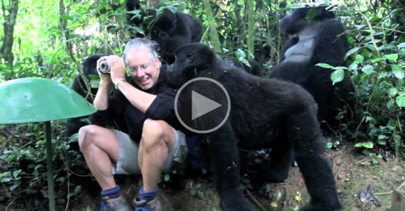 touched-by-a-wild-mountain-gorilla-uganda-video