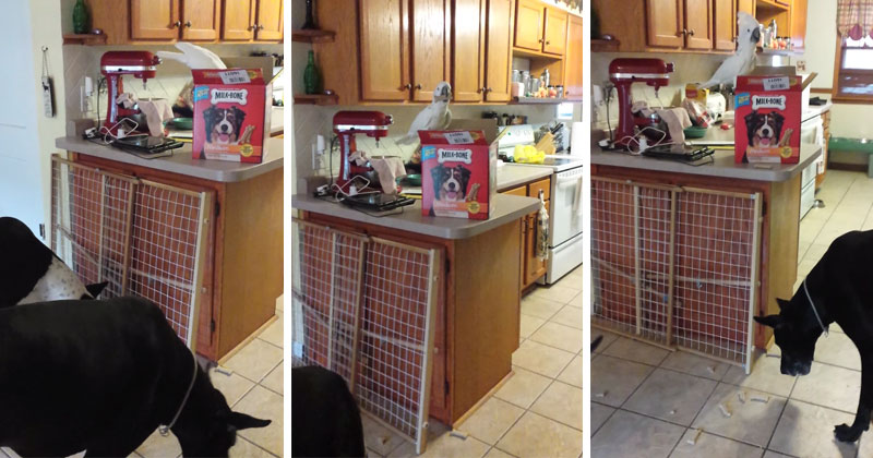 bird-feeding-dogs-treats-out-of-box-on-counter-video