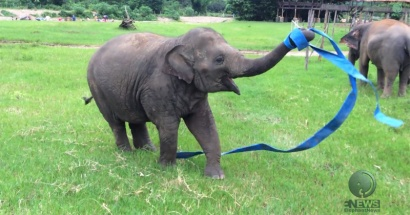 Elephant playing a blue ribbon