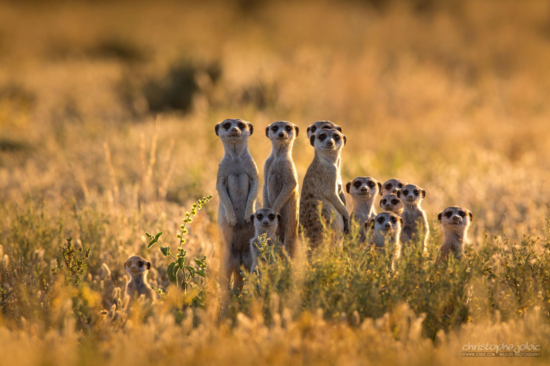 Picture of the Day: Meet the Meerkats