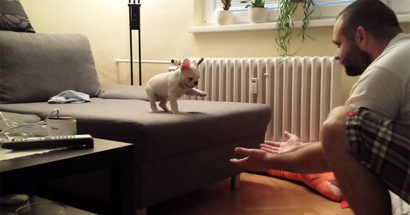 French Bulldog Conquers Fear and Takes First BigLeap