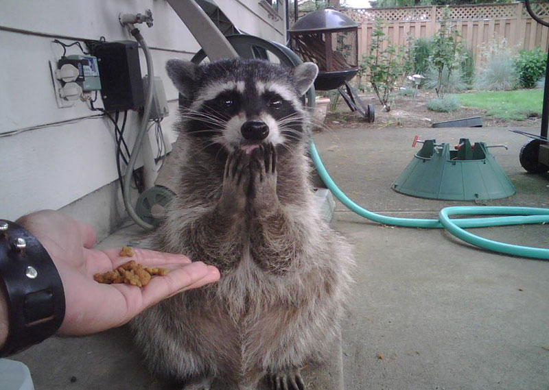 raccoon surprised The Shirk Report   Volume 279